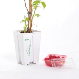 Pianta di lamponi in vaso da 13 cm