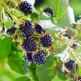 Corso cura e potatura dei piccoli frutti