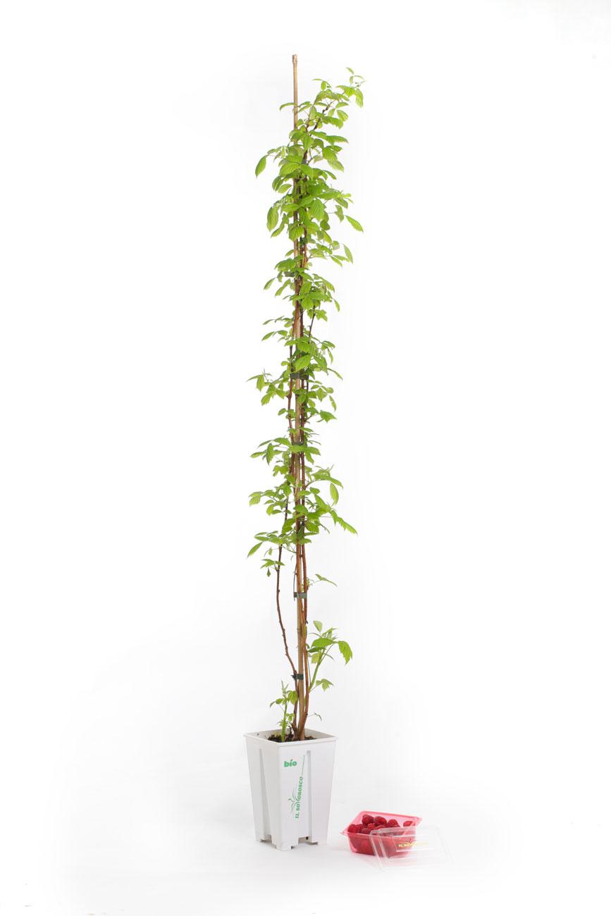 Coltivare Lamponi In Vaso pianta di lamponi – il sottobosco