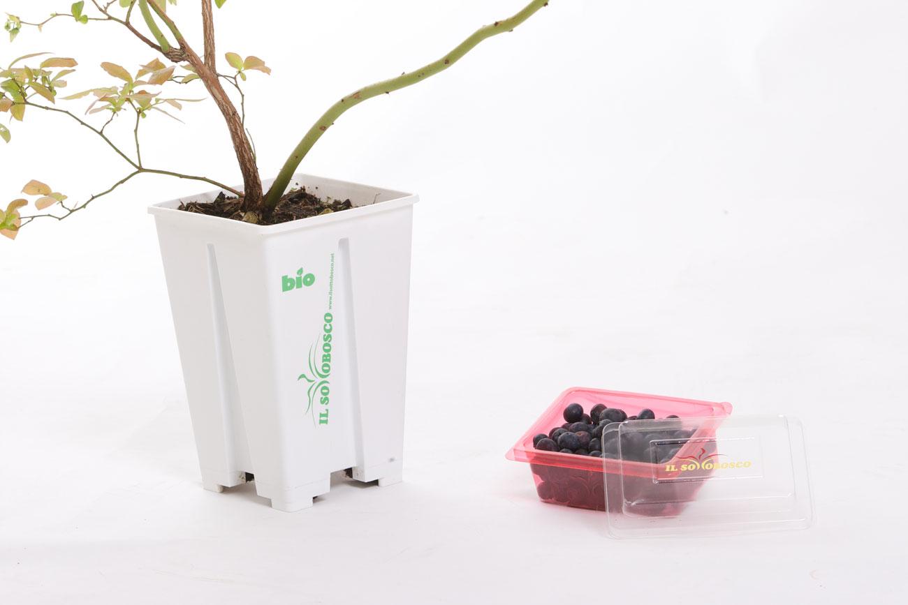 Coltivare Lamponi In Vaso pianta di mirtilli – il sottobosco