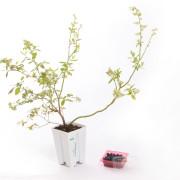 Pianta di mirtilli in vaso da 13 cm